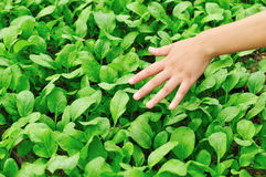 Love green vegetable Royalty Free Stock Photography