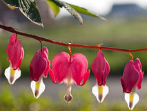 Love and grief - Bleeding Heart Stock Images