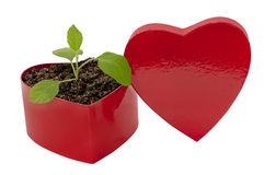 Love Grows Heart Shaped Box. Here is a beautiful heart shaped box with a little green plant in it as a concept for Love Grows  The heart shaped red lid is Royalty Free Stock Image