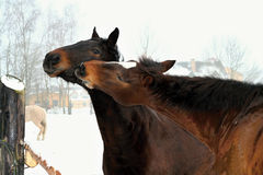 Love horses Stock Image