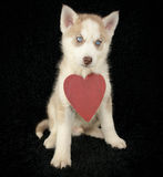 Love Husky Stock Images
