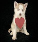 Love Husky Stock Images