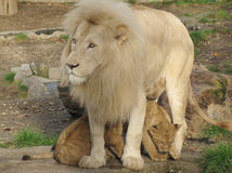 Free Love In The Widerness-Daddy Lion And His Child Royalty Free Stock Images - 26014399
