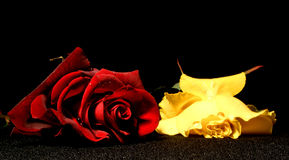 Love&jealousy. Here are two roses. One is yellow and the other one is red. The red one means love and the yellow one means jealousy Royalty Free Stock Images
