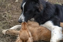 In love kissing puppy dog cocker spaniel and border collie stock image