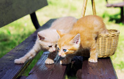 Love kittens in the basket, focus on a red kitten Stock Image
