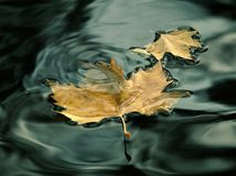 Love leaf. Leaf love in water bacground Stock Image