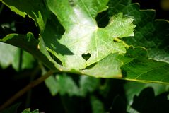 Love Leaf stock images