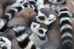 Love of Lemurs Stock Photography