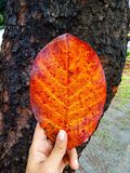 Love Life. A leaf that show how pretty life is with its reddish color stock photo