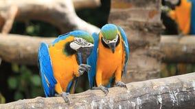 Love macaw birds stock footage