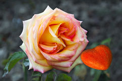 Love makes little heart into a large rose Royalty Free Stock Image