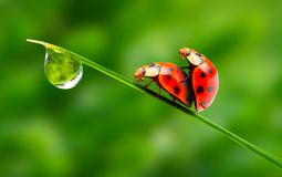 Love-making ladybugs couple. Stock Images