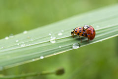 Love-making ladybugs couple Stock Photos