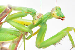 Love, mantises. Animal love, mantises on white background Royalty Free Stock Photos
