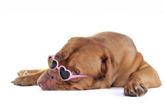 Love me. Puppy in Glamour Heart-Shaped Glasses Royalty Free Stock Image