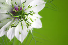 Love in a mist Royalty Free Stock Image