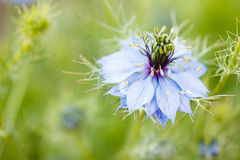 Love in a Mist. Flower of Nigella damascena (aka. Love in a mist or ragged lady) with blurred background Stock Photography