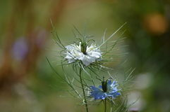 Love in the mist. The beautiful love in the mist flower Royalty Free Stock Photo