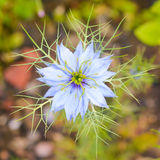 Love in a Mist Stock Image