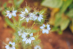 Love-in-a-mist the flower blossom Stock Image