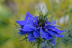 Love in the Mist Flower. Blue Love in the Mist flower, blurred background Stock Photos
