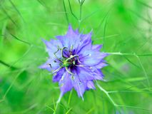 Love in a Mist Flower. (Nigella damascena), with shallow depth of field Royalty Free Stock Photos