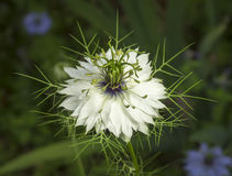 Love in the Mist Flower. A spiky white blossom of the Love in the Mist flower Royalty Free Stock Photography
