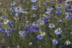 Love-in-a-mist flowers. Love-in-a-mist Nigella damascena. Known as Ragged lady and Devil in the bush also Stock Image