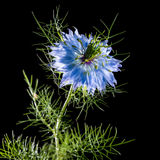 Love In A Mist. A macro shot of a blue nigella bloom, shot against a black background Stock Photography