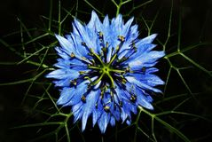 Love in a Mist - Nigella Damascena Royalty Free Stock Image