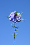 Love-in-a-mist (Nigella damascena). Colorful and crisp image of love-in-a-mist (Nigella damascena Royalty Free Stock Photos