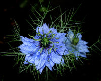Love-in-a-mist & x28;Nigella damascena& x29; against dark background stock photos