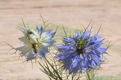 Love in a mist Nigella damascena blue flower. Detail of Love-in-a-mist Nigella damascena flower Stock Photo