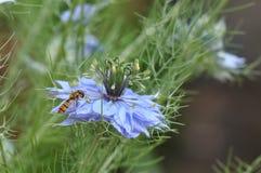 Love in a mist Nigella damascena blue flower. Detail of Love-in-a-mist Nigella damascena flower Royalty Free Stock Photos