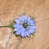 Love in a mist Nigella damascena blue flower. Detail of Love-in-a-mist Nigella damascena flower Stock Images