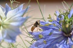 Love in a mist Nigella damascena blue flower. Detail of Love-in-a-mist Nigella damascena flower Stock Image