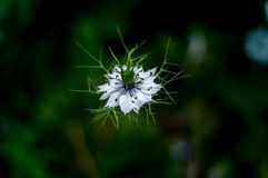 Love-in-a-mist, Nigella damascena Royalty Free Stock Photography