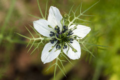 Love-in-a-mist (Nigella damascena) flower Stock Images