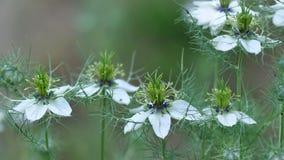 Love in a mist Nigella damascena flower. Detail of Love-in-a-mist Nigella damascena flower Stock Photo