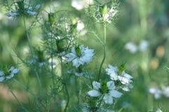 Love in a mist Nigella damascena flower. Detail of Love-in-a-mist Nigella damascena flower Royalty Free Stock Image