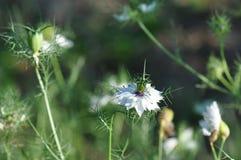 Love in a mist Nigella damascena flower. Detail of Love-in-a-mist Nigella damascena flower Stock Image