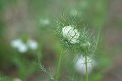 Love in a mist Nigella damascena flower. Detail of Love-in-a-mist Nigella damascena flower Royalty Free Stock Photo