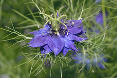 Love In A Mist. Nigella damascena Royalty Free Stock Images