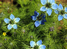 Love in a mist. Nigella. Love in a mist flower of nigella with blurred background Royalty Free Stock Image