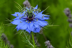 Love in the Mist. Powder blue Love in the Mist flower, blurred background Royalty Free Stock Photos