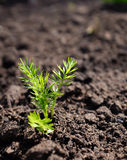 Love-in-a-mist seedling growing in soil Stock Photos