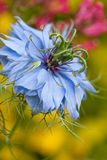 Love-in-a-Mist Royalty Free Stock Photos