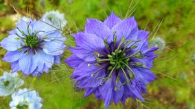 Love In A Mist. Stunning powder blue flowers of love in a mist Royalty Free Stock Photo