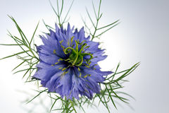Love-in-a-mistblume (Nigella damascena) Stockbilder